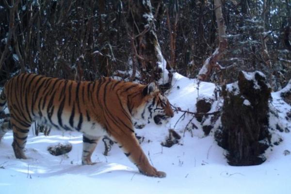 Bhutan tiger