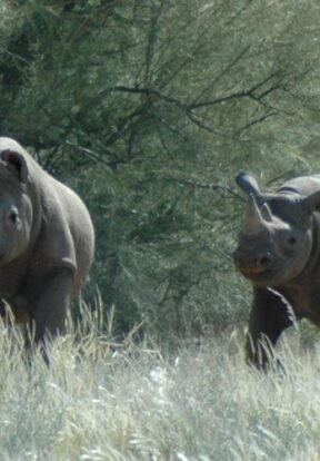 A black rhino cow and calf in the Kunene Region in Namibia