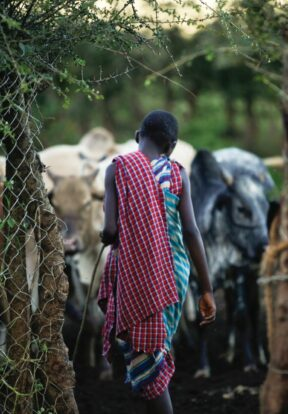 A pastoralist enters a living wall