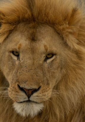 Lion looking directly at camera