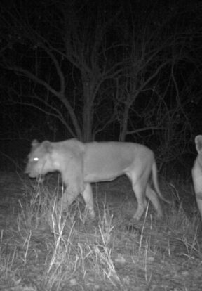 Lionesses captured by a camera trap