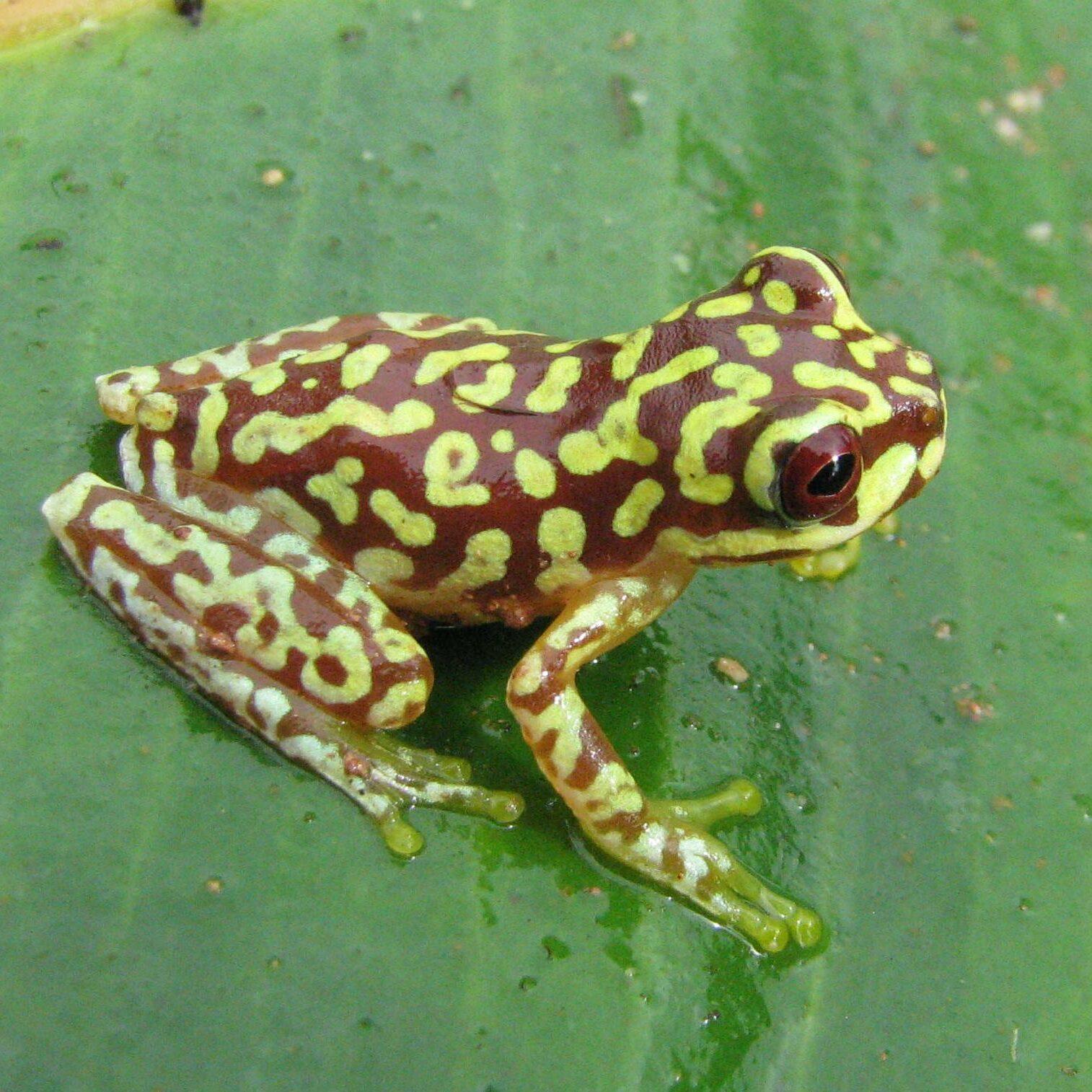 A frog in Guatelama's tropics