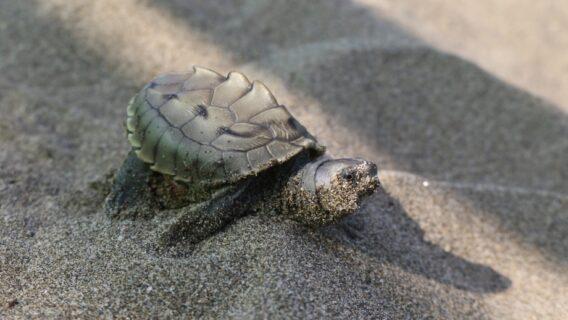 Burmese roofed turtle hatchling in Myanmar