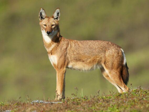 Ethiopian wolf in the plains of Ethiopia