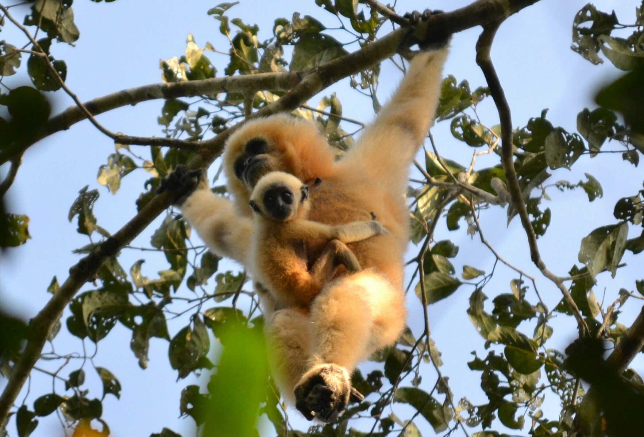 Female gibbon with her baby hanging from a tree in Cambodia
