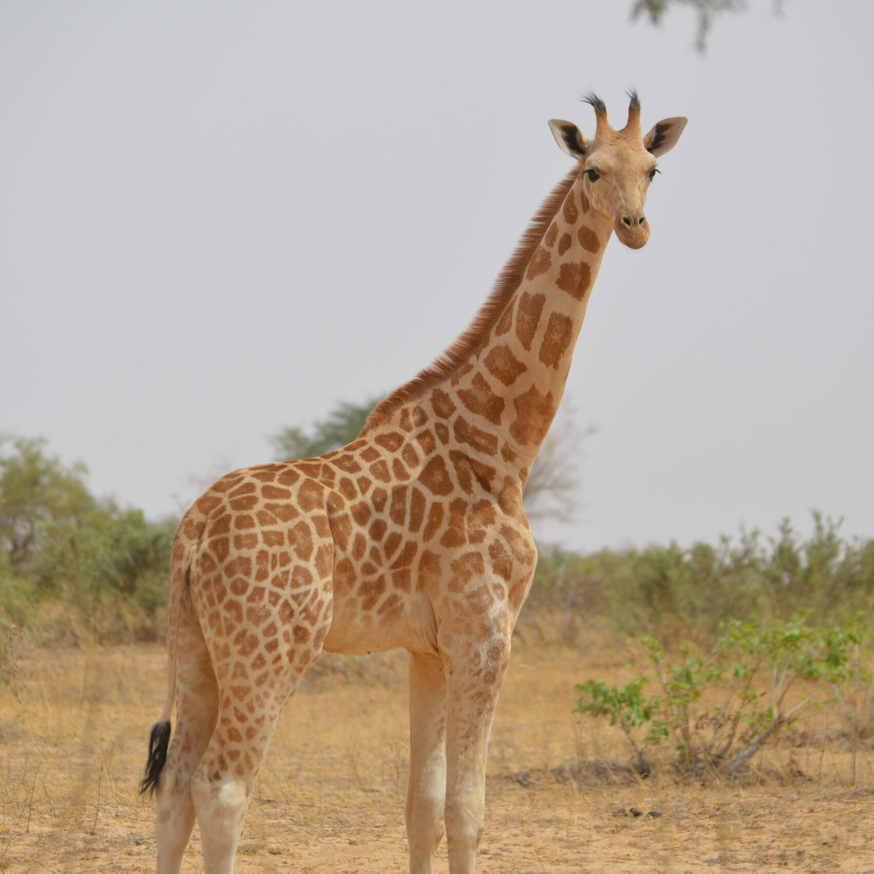 Young giraffe in Africa