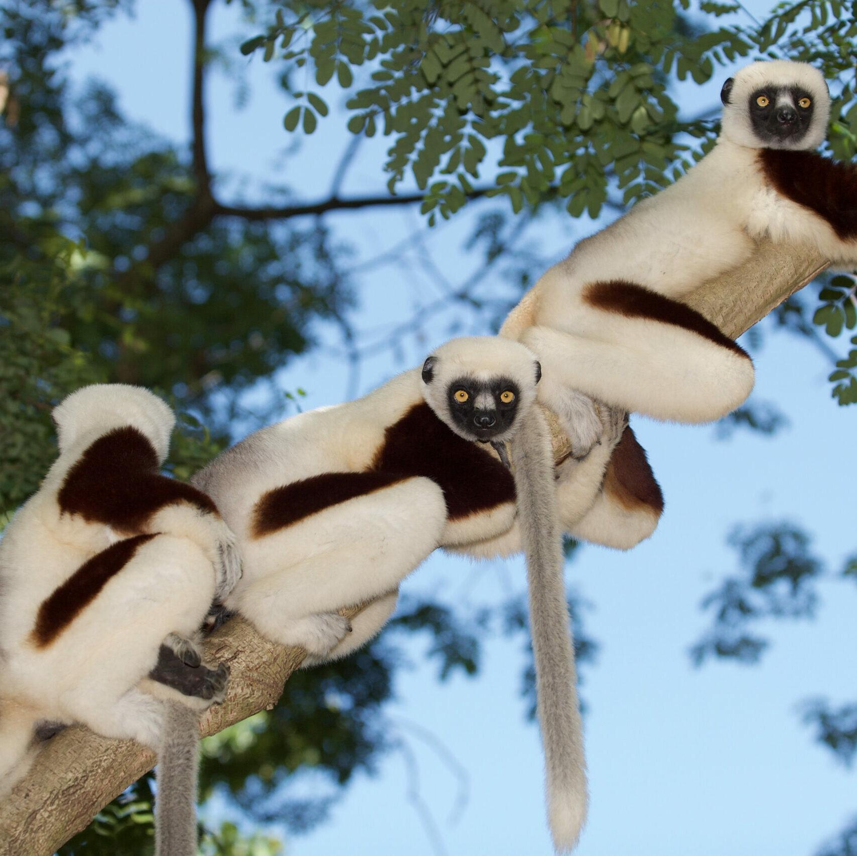 Three sifaka lemurs on a branch