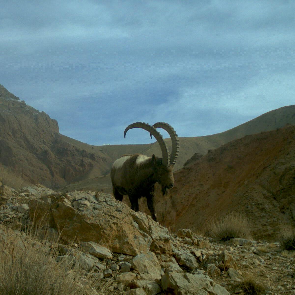 Ibex in Kyrgyzstan