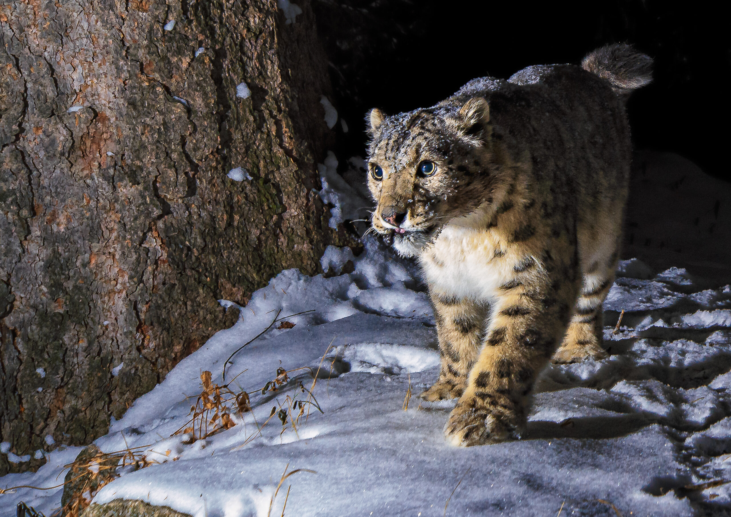 Snow leopard captured in the snow by a camera trap