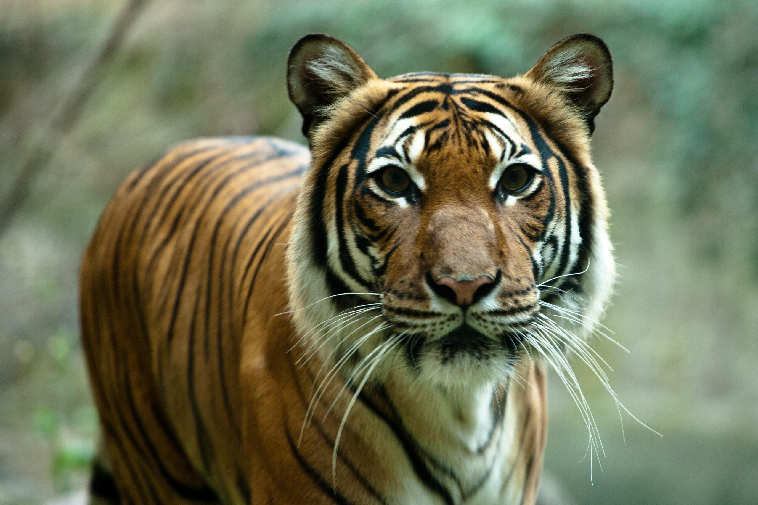 Closeup of a tiger