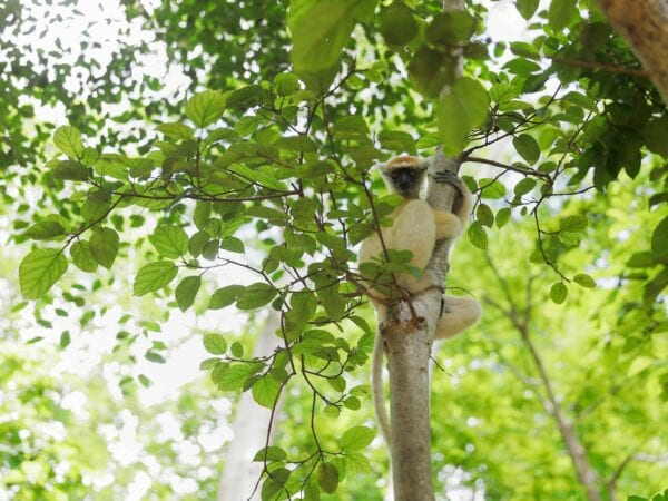 Golden-crowned Sifaka sitting in tree