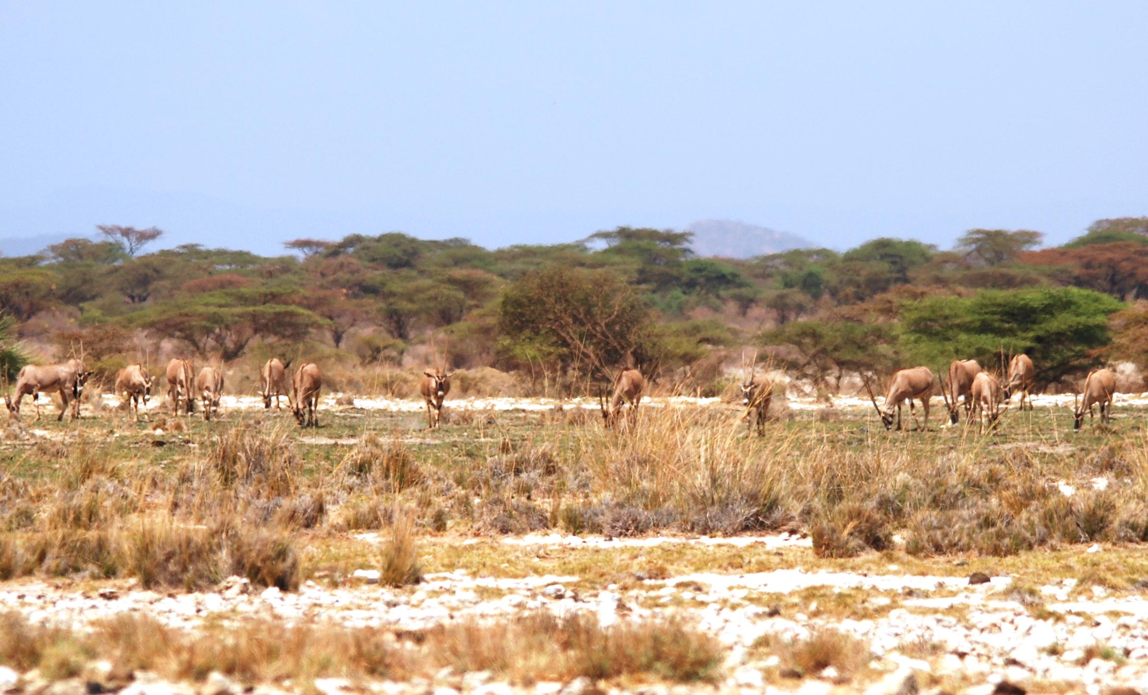 Beisa oryx in Kenya