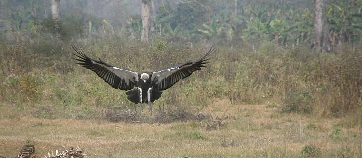 Strengthening safe zones for vultures