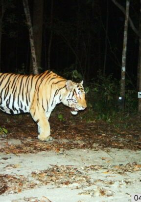 SMART was piloted with tiger conservation and has since been deployed across many situations, landscapes and target species