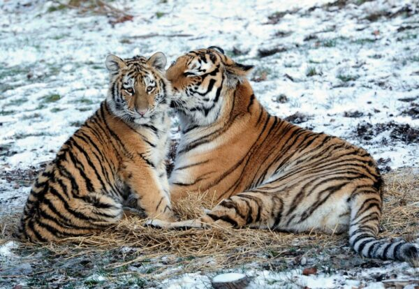 SMART Conservation software is now used by many of IUCN's Integrated Tiger Habitat Conservation Programme grantees