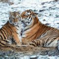 Two tigers in the snow