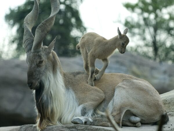 Community-based conservation of Markhor in the tribal areas of Gilgit-Baltistan