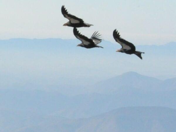 Restoration of the California Condor to Baja California