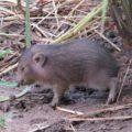 Baby Pygmy Hog
