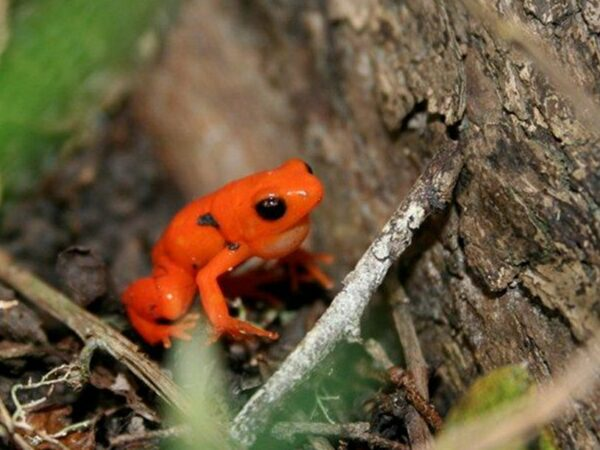 Last Chance to Save the Golden Mantella Frog