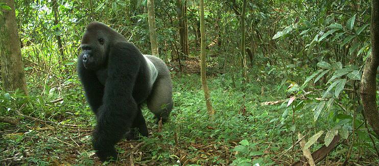 Saving Africa's most endangered Apes through community-based conservation of key Cross River Gorilla habitat