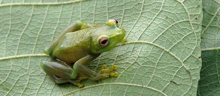 Conservation of threatened amphibians in the Ithombwe and Misotshi-Kabogo massifs