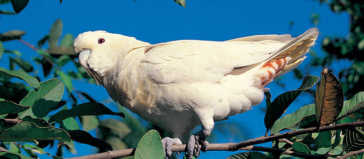 Re-introduction of the Philippine Cockatoo (1st Phase)