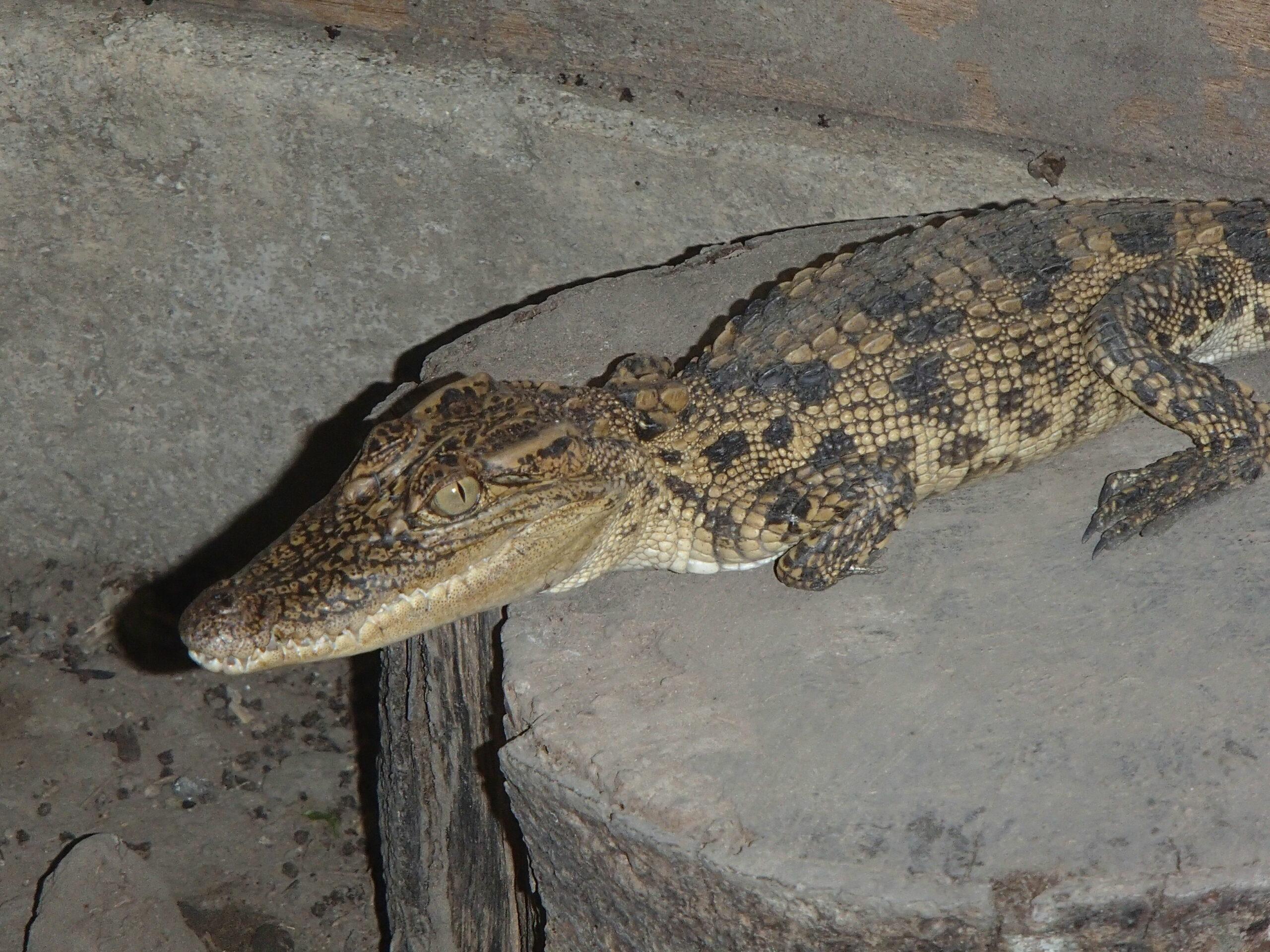 Ensuring a future for the Critically Endangered Siamese Crocodiles