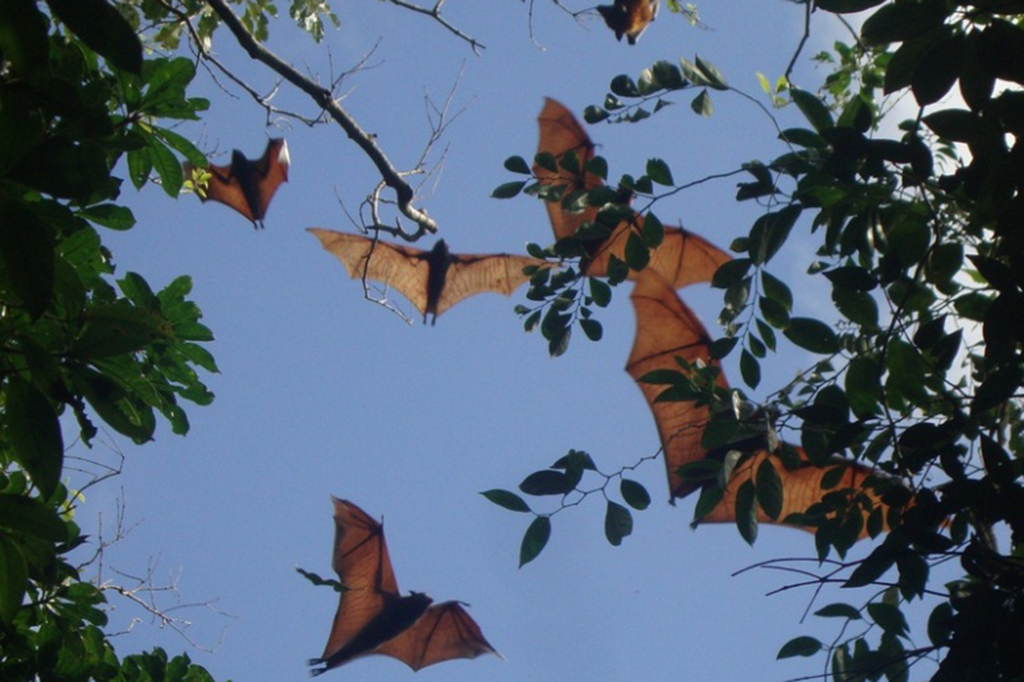 Filipino Flying Foxes