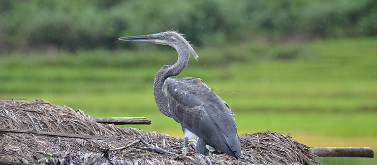 Conserving the Critically Endangered White-bellied Heron