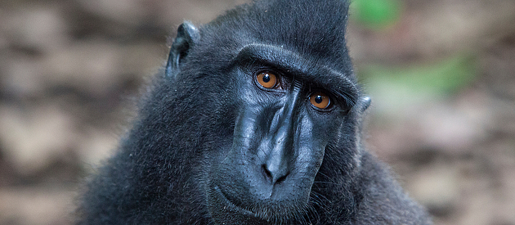 Creating connections: working together to protect the last stronghold of the endemic Sulawesi Crested Black Macaque