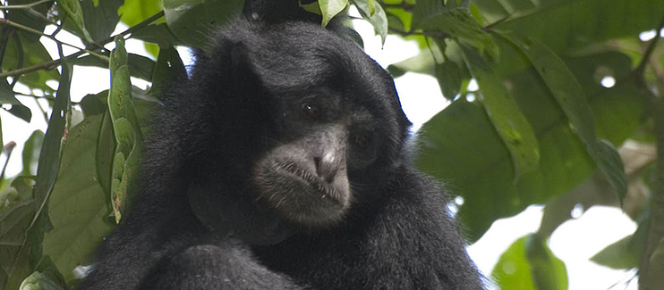 Conservation of Endangered and Critically Endangered gibbons of Southeast Asia