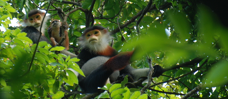 Safeguarding endangered Douc Langurs and Critically Endangered Gibbons at Son Tra Nature Reserve and Chu Mom Ray National Park