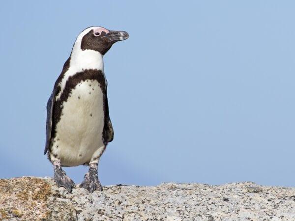 An African Penguins