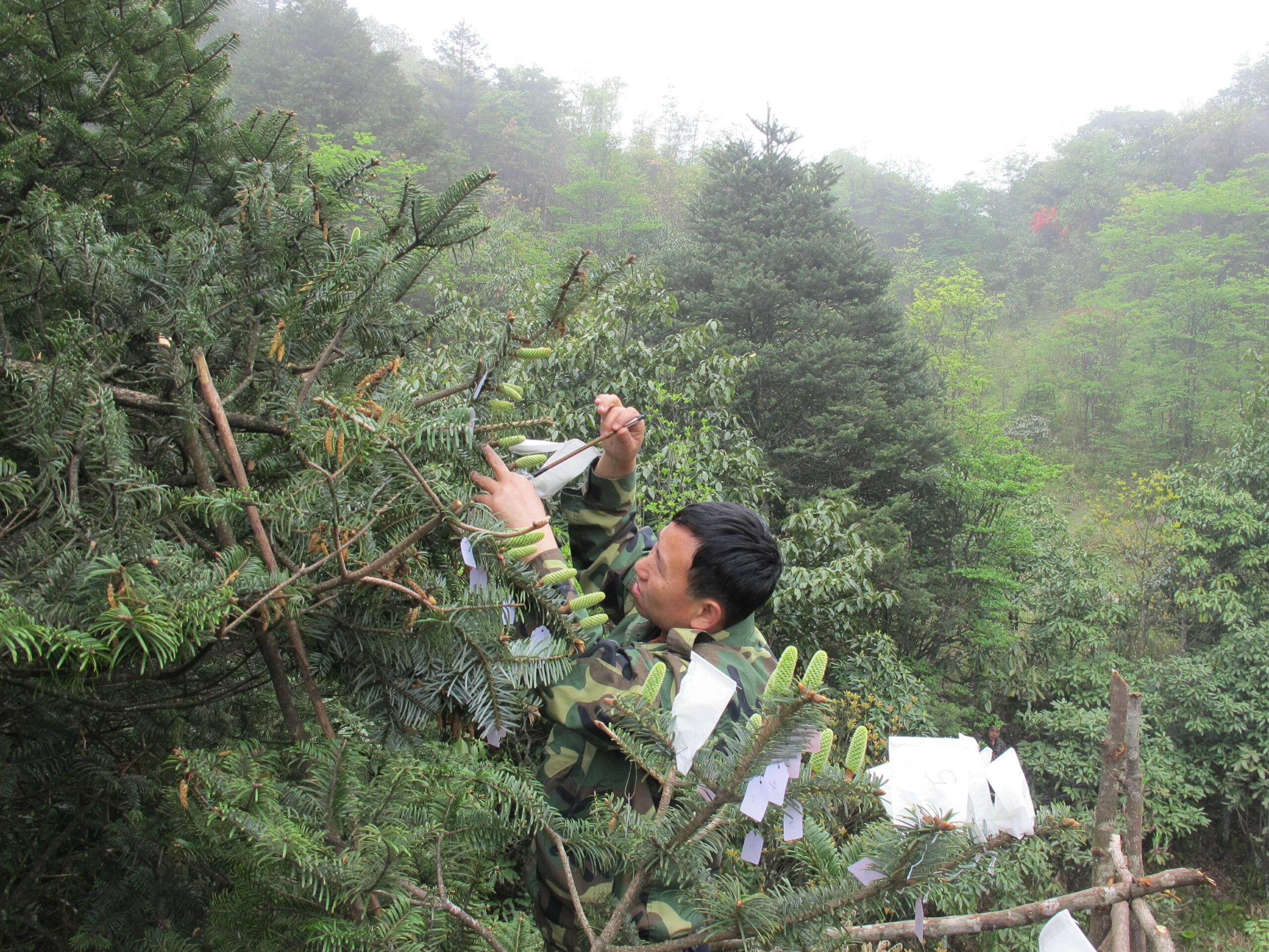 Dr Hu Xinghua conducts the artificial pollination of Ziyuan fir