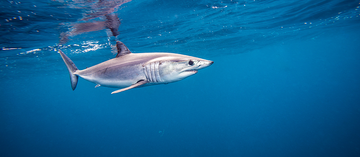 Immediate bycatch protection for the Vulnerable Shortfin Mako shark