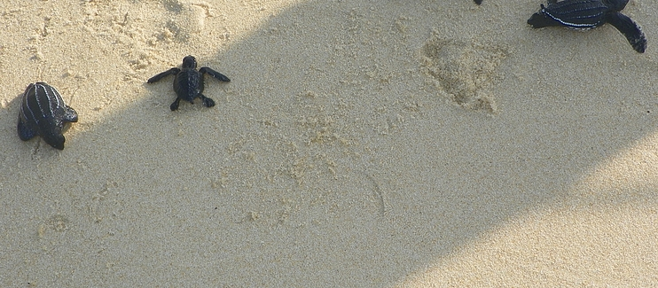 Continued development of a community-based marine turtle conservation program