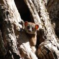 Leveraging biodiversity to rebuild fragile ecosystems in Northern Madagascar with the Northern Sportive Lemur