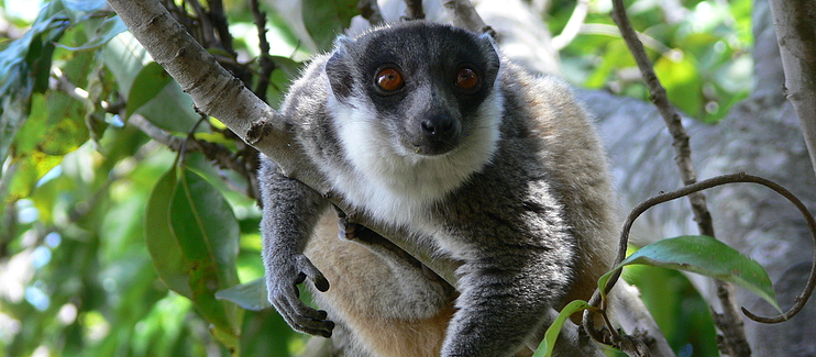 Conservation of the crowned sifaka