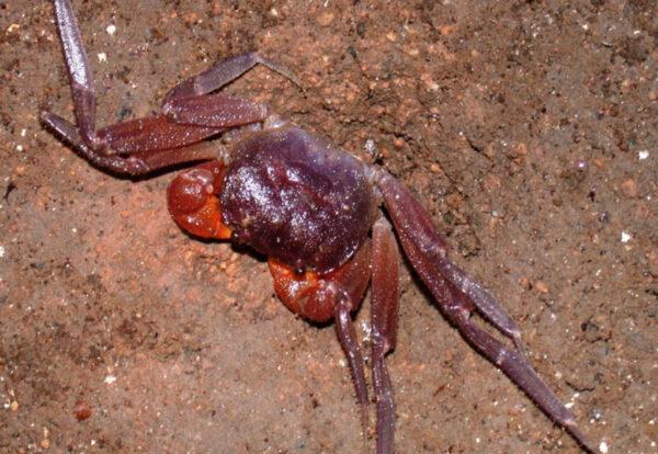 Giri Putri cave crab