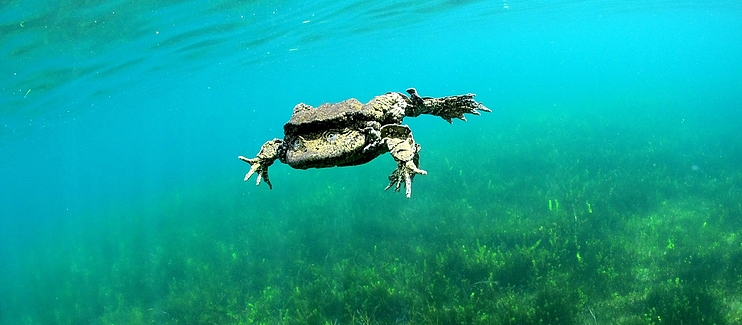 Rescuing Telmatobius culeus populations populations at Lago Menor