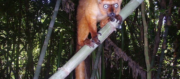 Reinforcing conservation activities for the long-term survival of the Critically Endangered Blue-eyed black lemur