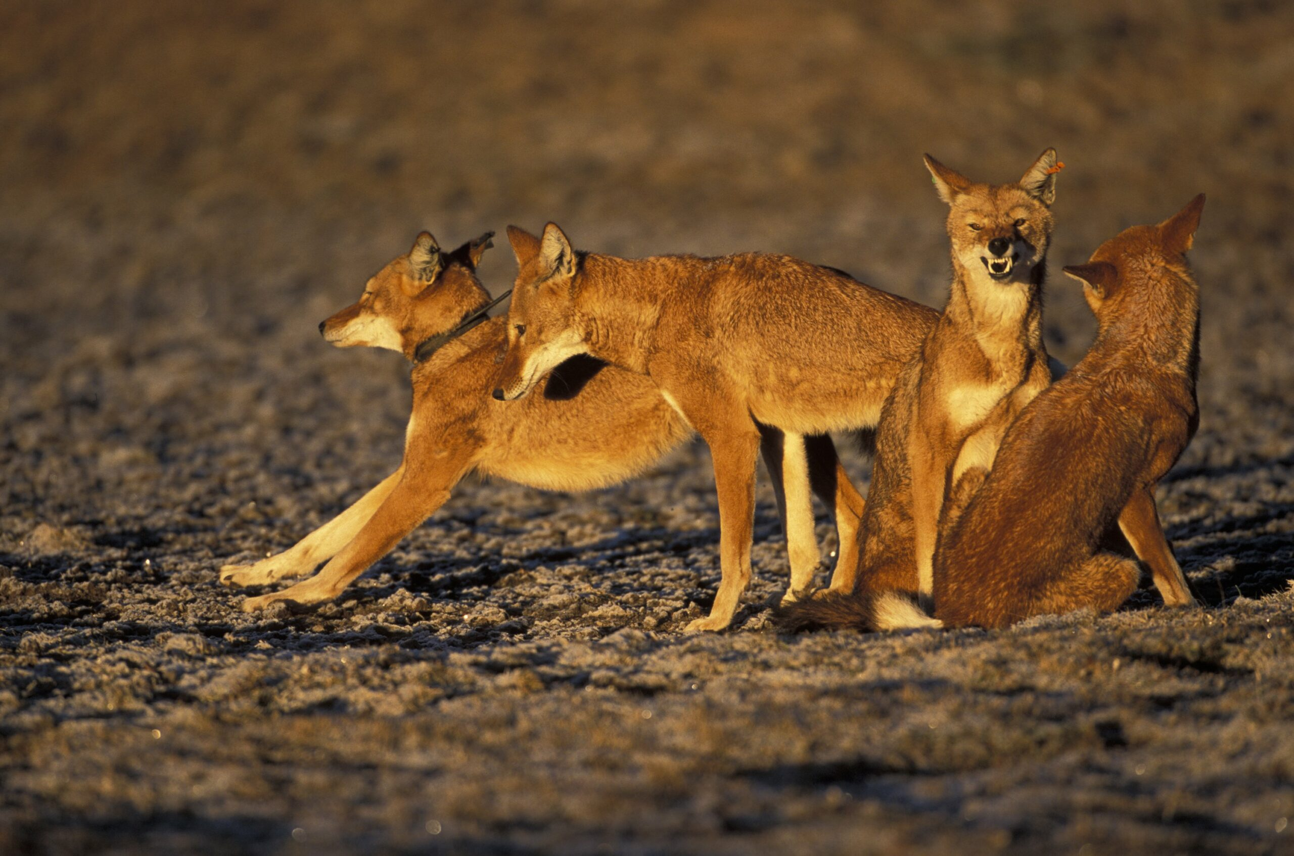 Pack of Ethiopian Wolves