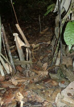 WCS Malaysia An active small cable snare was found at Cenderawasih