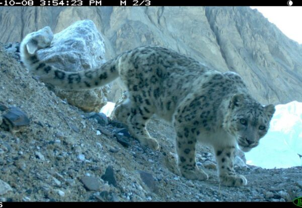 In Pakistan communities cope with occasional livestock losses to snow leopards through insurance and vaccination schemes that compensate for losses and enhance health of animals going to market
