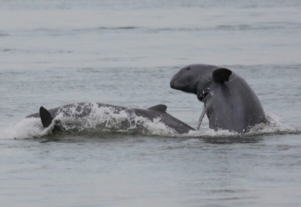 Irrawaddy Dolphin in the Mekong Rivers