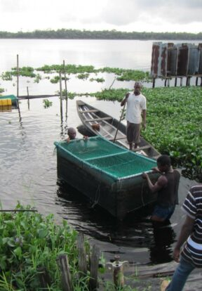 Communities in West Africa manage freshwater aquaculture ponds as part of efforts to protect the West African Manatee from hunting