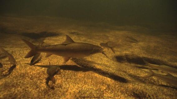 Clanwilliam Sandfish (EN) Labeo seeberi