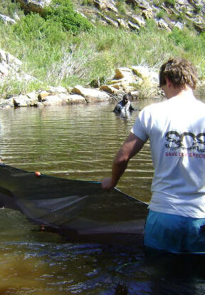 Freshwater fish conservation in Cape Floristic region South Africa