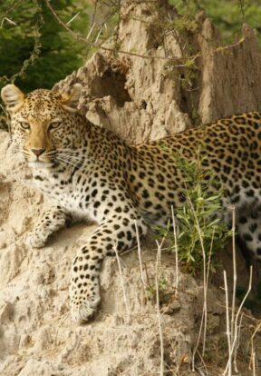 Large predators such as the leopard will benefit from the African Wildlife Initiative, which reduces human-wildlife conflicts